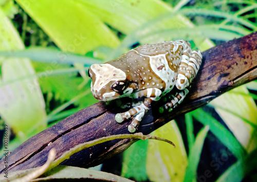 fototapeta na ścianę Амазонская молочная лягушка