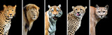 Five big wild cats - 100428739