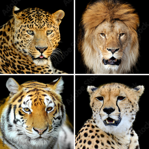 Fototapeta Four big wild cats