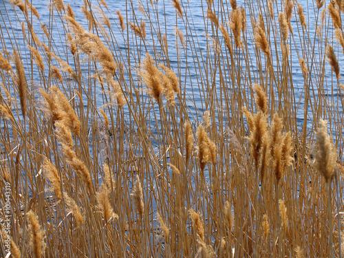 Obraz na Plexi reeds 1