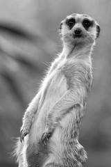 The meerkat © ttshutter