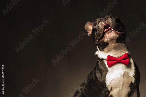 Poster happy curious french bulldog puppy dog wearing bow tie