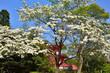 Obrazy na płótnie, fototapety, zdjęcia, fotoobrazy drukowane : ハナミズキ 大覚寺 春, blooming dogwood flowers in Dikaku-ji temple, Kyoto Japan.