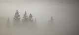 Fir trees in a fog