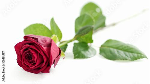 Zdjęcia na płótnie, fototapety, obrazy : red rose on white background, shallow depth of field