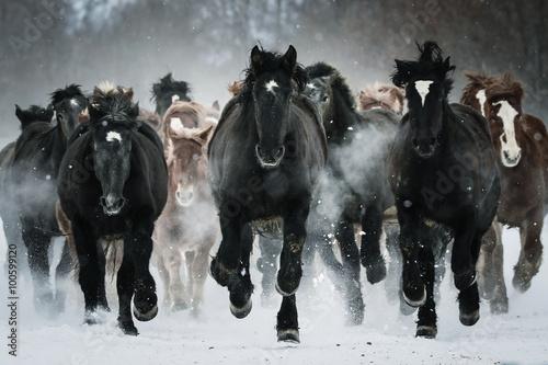 Fototapety, obrazy : 雪原を走る馬の集団