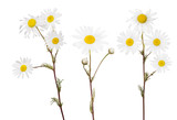 isolated set of three fine chamomile flowers
