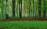 Enchanted Michigan Forest. Panoramic foggy forest with a lush green foreground.