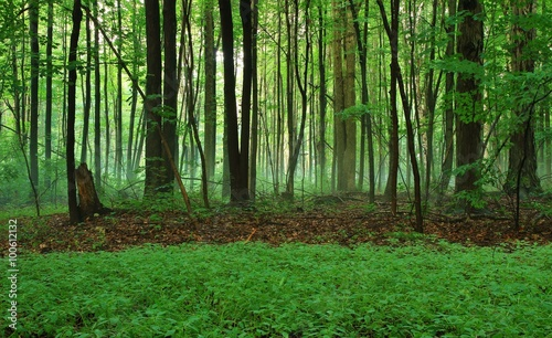 Aluminium Betoverde Bos Enchanted Michigan Forest. Panoramic foggy forest with a lush green foreground.