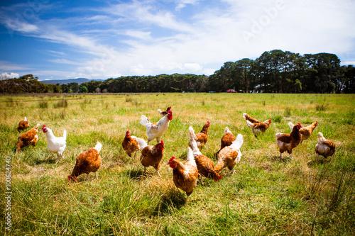 Fototapeta Chickens In A Field