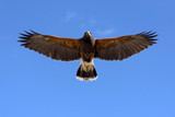 Harris Hawk in fright