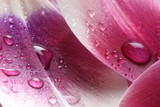 Fototapety Krople wody na płatku tulipana