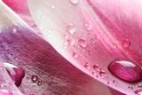 Krople wody na płatku tulipana - 100637920
