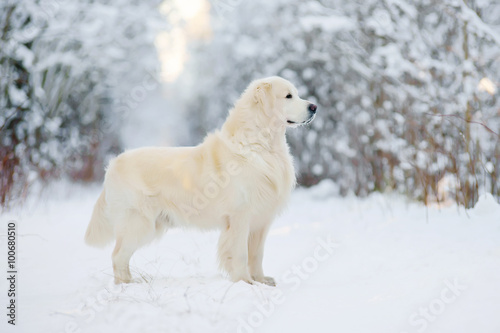 Poszter Golden Retriever dog staying in the snow in winter forest