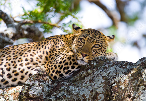 Póster Leopard is lying on a tree