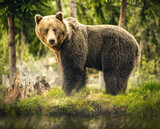 Bear in nature, wildlife, brown bear in forest, meeting with bear, big bear, animal in nature