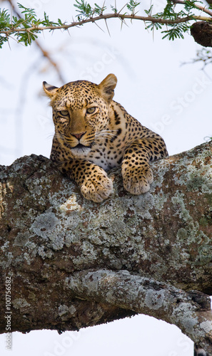 Staande foto Afrika Leopard is lying on a tree. National Park. Kenya. Tanzania. Maasai Mara. Serengeti. An excellent illustration.
