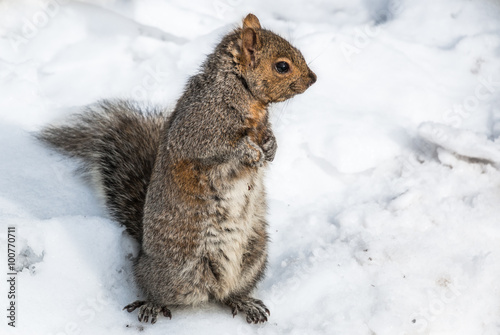 Tuinposter Eekhoorn Squirrel in Snow. A tree squirrel in snow during winter in the northeast United States.