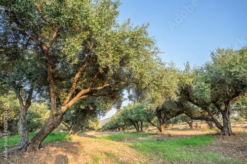 Tuinposter Olijfboom Olive trees garden.