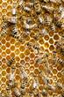 Obrazy na płótnie, fototapety, zdjęcia, fotoobrazy drukowane : bees swarming on a honeycomb