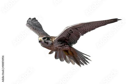 Poster Prairie Falcon