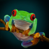 Green tree frog with orange legs and red eyes hanging on a branch on a dark background