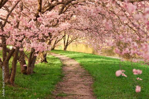 Blühende Kirschbäume am Wegesrand Poster