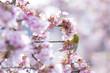 Obrazy na płótnie, fototapety, zdjęcia, fotoobrazy drukowane : メジロ(あたみ桜)
