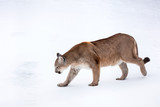 Puma in the woods, Mountain Lion, single cat on snow