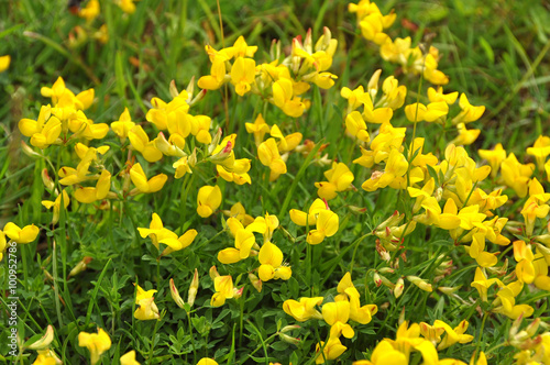 Background Flowering Yellow Broom Flower Buy Photos Ap Images
