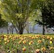 Tulips Grow