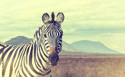 Fototapeta Wild african zebra. Vintage effect