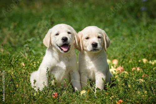 Poster, Tablou маленькие щенки лабрадора ретривера сидят в траве