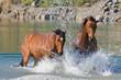 Obrazy na płótnie, fototapety, zdjęcia, fotoobrazy drukowane : Two brown horses in the water