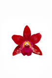 Fototapety Beautiful Red orchid flower isolated on white background