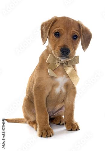 Poster puppy labrador retriever