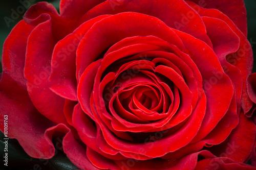 piekna-czerwona-roza