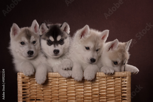 Four adorable Husky puppy in a basket