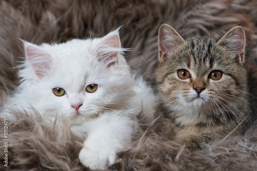 Zwei Kätzchen Poster