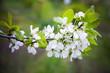 Obrazy na płótnie, fototapety, zdjęcia, fotoobrazy drukowane : Apple tree branch with white flowers