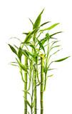 Fototapeta Bedroom - junge Bambuspflanzen vor weißem Hinterund © Visions-AD