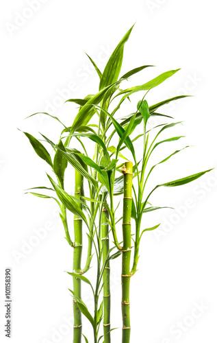junge Bambuspflanzen vor weißem Hinterund Poster