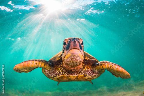 Pinturas sobre lienzo En peligro de extinción de Hawai cruceros de la tortuga de mar verde en las agua