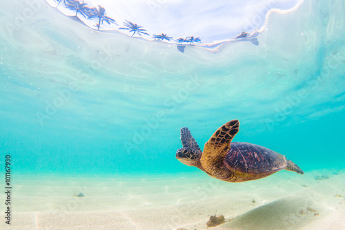 Plagát, Obraz Endangered Hawaiian Green Sea Turtle cruises in the warm waters of the Pacific O