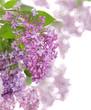 Obrazy na płótnie, fototapety, zdjęcia, fotoobrazy drukowane : light lilac large inflorescences composition
