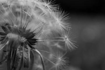 Ekstremalnych bliska dandelion i jego poszczególnych nasion.