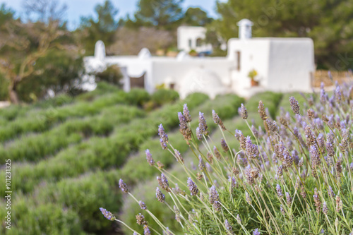 Lavender fields in Ibiza