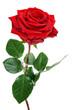 Obrazy na płótnie, fototapety, zdjęcia, fotoobrazy drukowane : Perfekte, aufgeblühte rote Rose