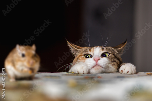 Zdjęcia na płótnie, fototapety na wymiar, obrazy na ścianę : Cat playing with little gerbil mouse on thetable