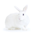 white rabbit isolated on white looking at the camera